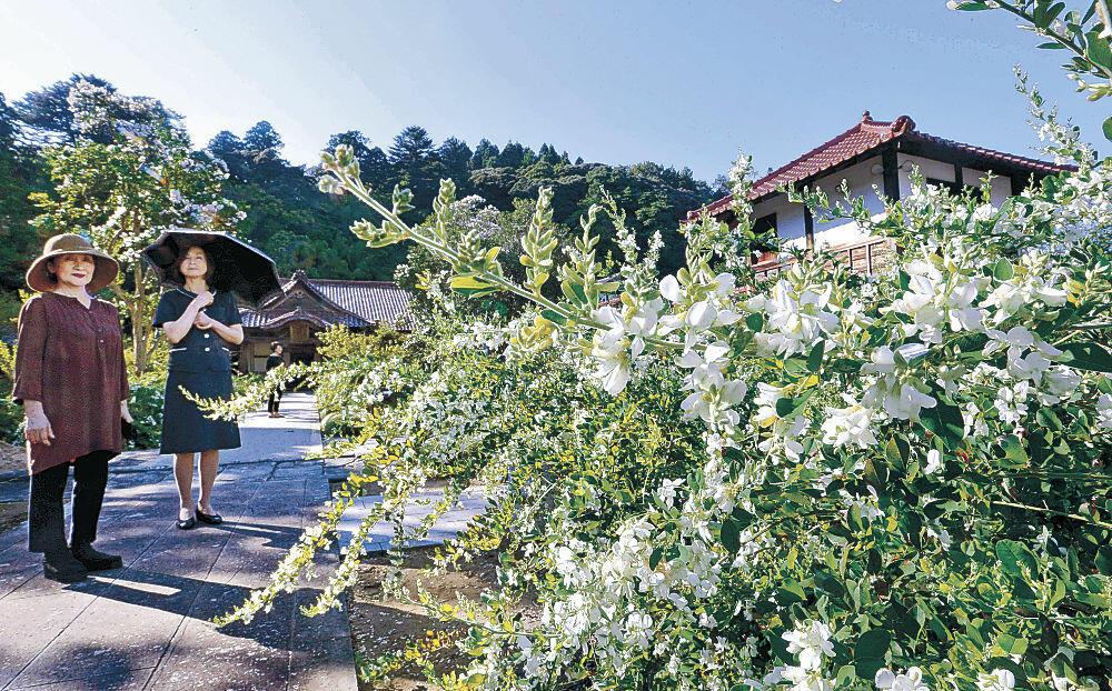 純白の花を咲かせるハギ=加賀市大聖寺下屋敷町の実性院