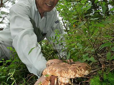 マツタケの頭、あちこちに 産地の諏訪・湖南で収穫