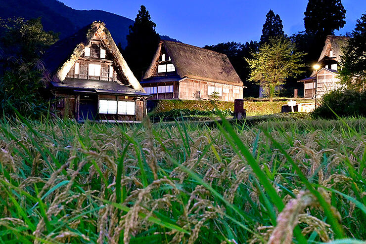 棚田の稲が実った集落でライトアップされた合掌造り家屋