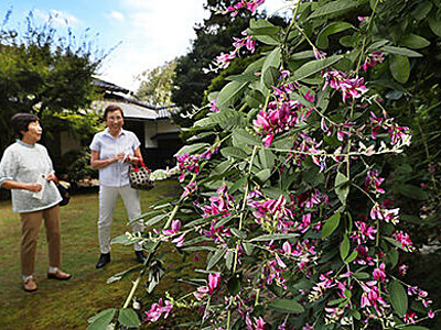 庭園に秋の風情 富山・内山邸でハギ見頃