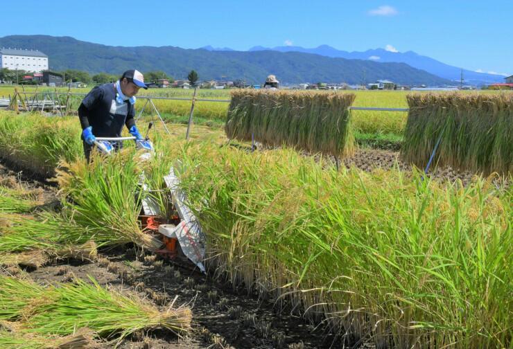 秋晴れの八ケ岳連峰を背に稲を刈る男性=19日、諏訪市豊田