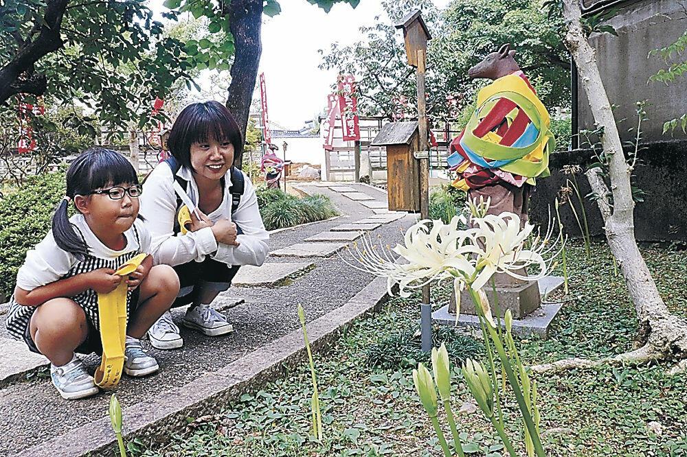 咲き始めた白のヒガンバナ=野町1丁目の香林寺