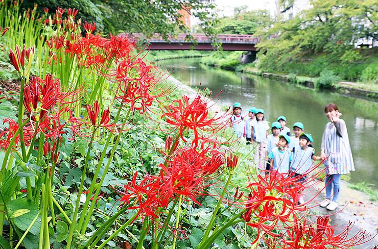 いたち川沿いで色鮮やかな花を咲かせるヒガンバナ=富山市小島町