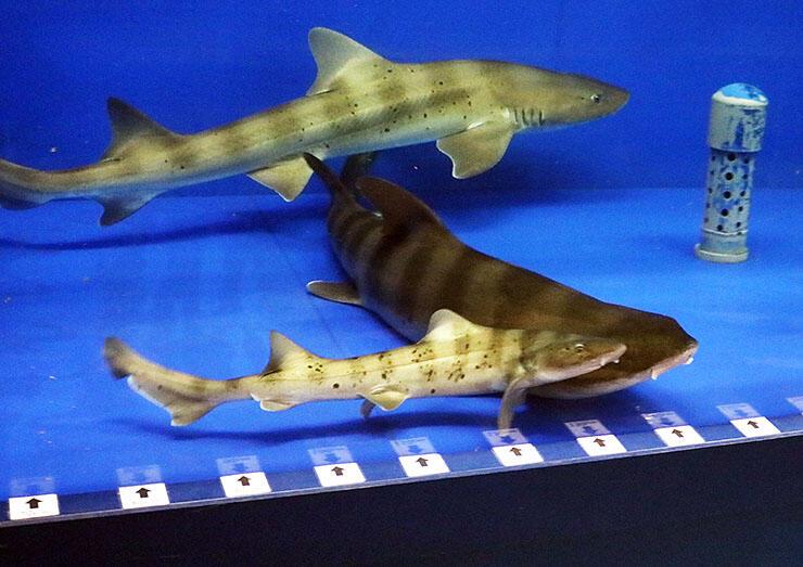 魚津水族館のドチザメ。展示中の子ども(手前)も単為生殖の可能性がある=魚津市三ケ