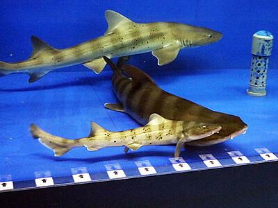 ドチザメ、雌だけの水槽から次々赤ちゃんの 魚津水族館