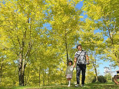 白樺湖畔に黄金の輝き ニセアカシアの黄葉見頃