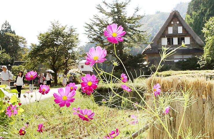 合掌造り集落でピンク色の花を咲かせるコスモス=南砺市相倉