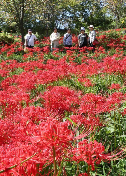 斜面を真っ赤に染めたヒガンバナ=1日、長岡市の雪国植物園