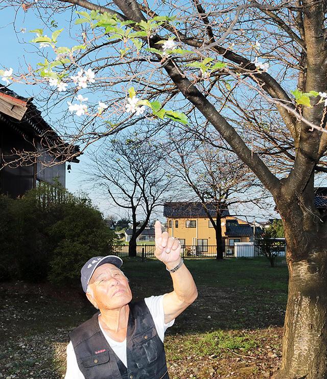 返り咲きした八幡社のソメイヨシノ