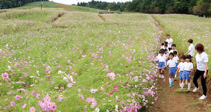 かれんな花を咲かせたピンクや白のコスモス=となみ夢の平スキー場