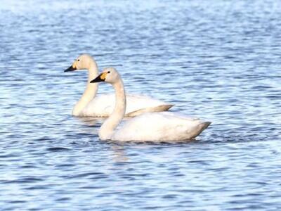 冬の使者 瓢湖にふわり 阿賀野