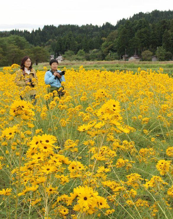 満開になったヤナギバヒマワリの花畑=7日、上越市安塚区