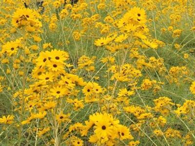 黄金色の花畑に誘われ ヤナギバヒマワリ満開 上越安塚区