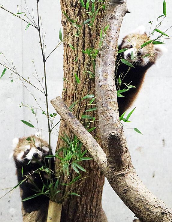 展示室の木に登るレッサーパンダの双子=富山市ファミリーパーク
