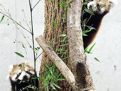 レッサーパンダ双子12日から公開 富山市ファミリーパーク、愛称も募集