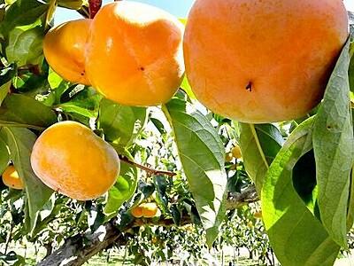 越前柿つやつや 収穫最盛期 福井・あわらで