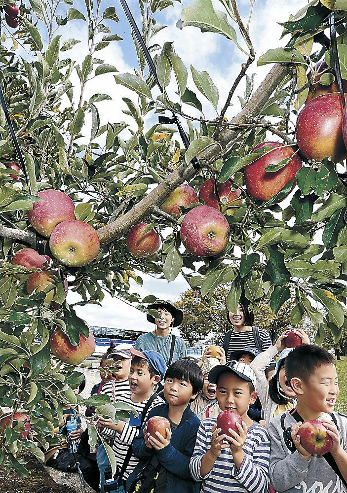 「秋星」を収穫する園児=金沢市才田町