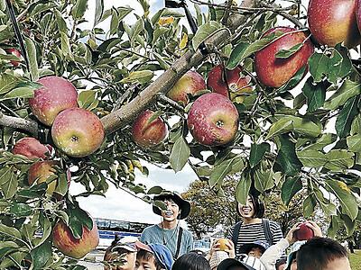 リンゴ秋星「大きい」 金沢で園児摘み取る