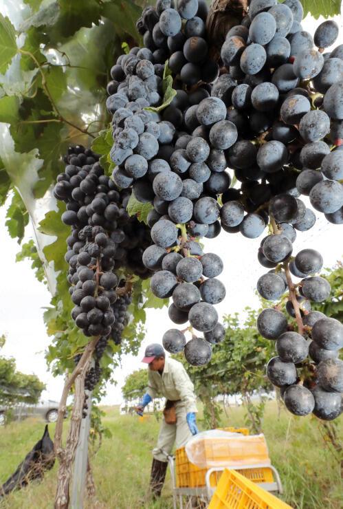 直径1センチほどのつややかな粒がたわわに実るワイン用ブドウ「メルロー」=塩尻市洗馬