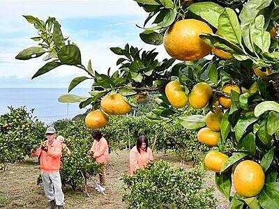 色づく至極の果実 東浦みかん観光園オープン