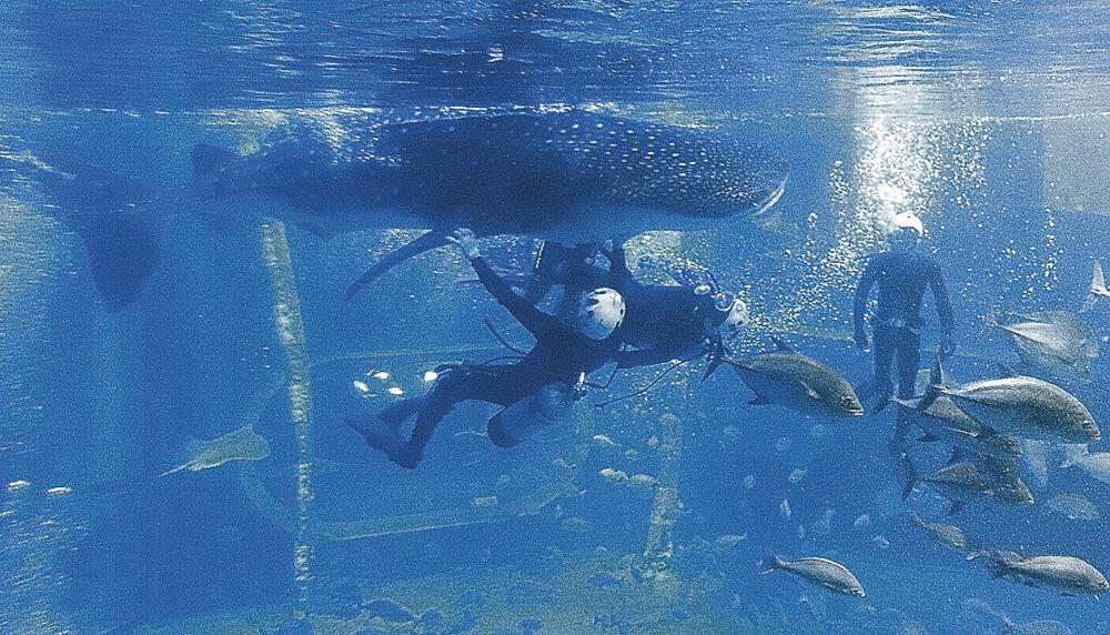 ダイバーに誘導されて収容器に向かうジンベエザメの「イオリ」=七尾市ののとじま臨海公園水族館