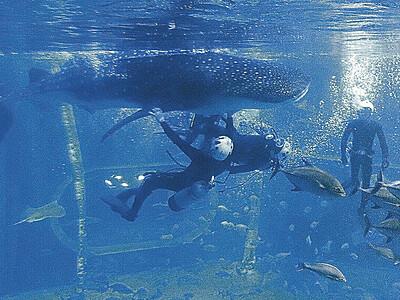 人気者ジンベエザメ交代 のとじま水族館 「イオリ」成長で海に