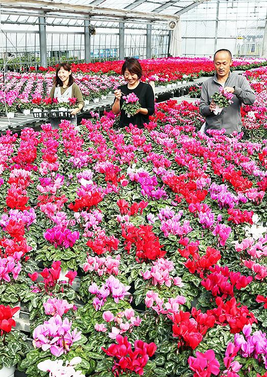 ハウス内で鮮やかに咲き誇るシクラメン=松浦園芸