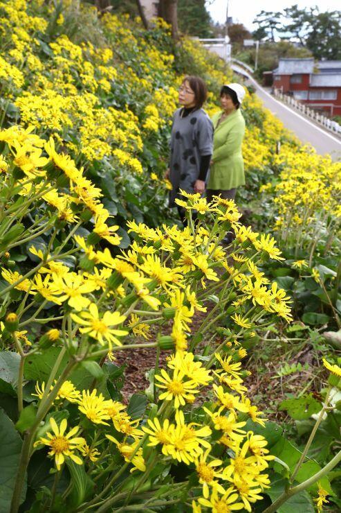 「つわぶき坂」に群生するツワブキの花=24日、長岡市寺泊大町