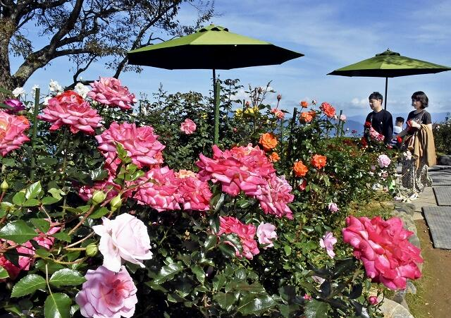 もうすぐ見頃を迎えるバラ園=10月23日、福井県のレインボーライン山頂公園