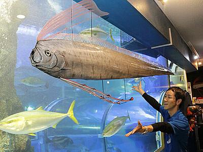 国内最大級リュウグウノツカイ剥製 魚津水族館、泳ぐ様子再現