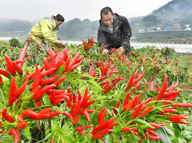 真っ赤に色づき、収穫期を迎えたトウガラシ=10月29日、福井県高浜町鎌倉