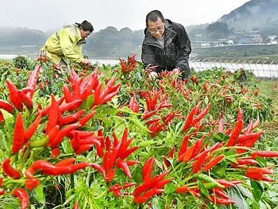 光沢つややか「映える」赤 トウガラシ収穫本格化 福井