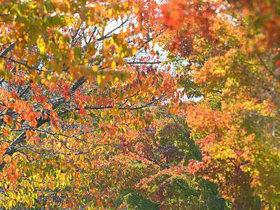 諏訪湖畔、秋の装い 下諏訪の桜とモミジの並木
