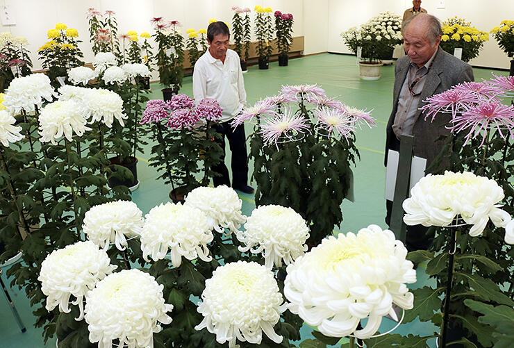 愛好家が丹精込めて育てた大輪で彩られた県菊花大会の会場