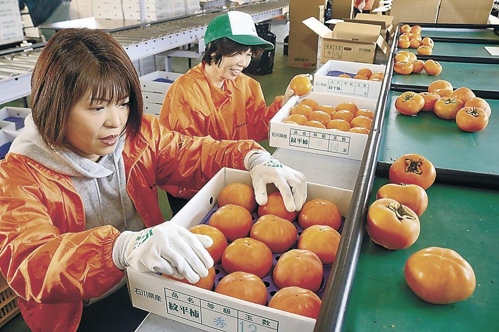 紋平柿の出荷作業に当たる農家=かほく市夏栗