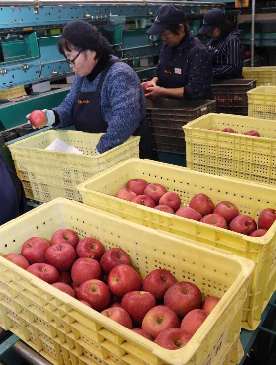 出荷が本格化しているサンふじ=あづみ農協中央果実選果所