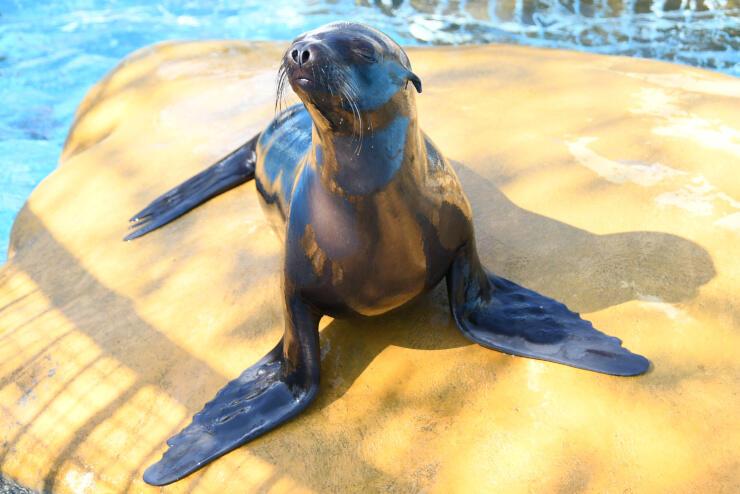 茨城県大洗町から城山動物園に来たカリフォルニアアシカの雌。園内で名前を公募している