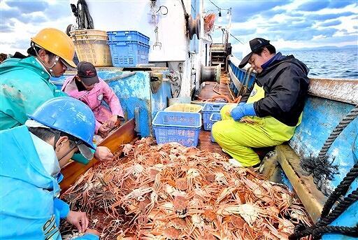 越前がに漁が解禁となり、船上でタグ付けする漁師たち=11月6日、福井県越前町沖