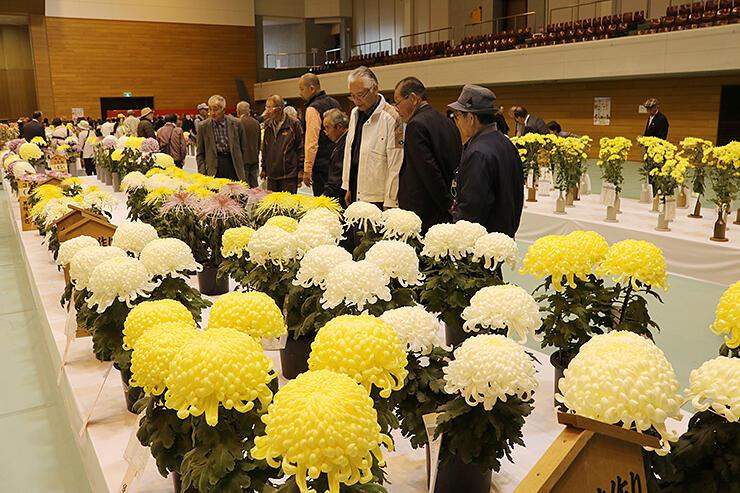 全国の愛好者が育てた菊が並ぶ会場=南砺市福野体育館