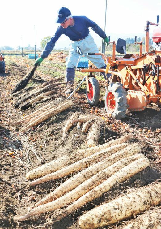 長芋の秋掘りが最盛期を迎えている山形村の畑。農家が収穫作業に追われている