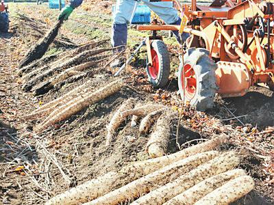 甘みも粘りもたっぷり 山形村で長芋の収穫最盛期