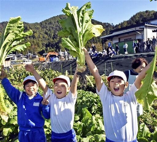 伝統野菜の山内かぶらを収穫する児童たち=11月13日、福井県若狭町山内