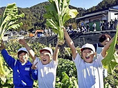 山内かぶら特別な味 若狭町で収穫祭