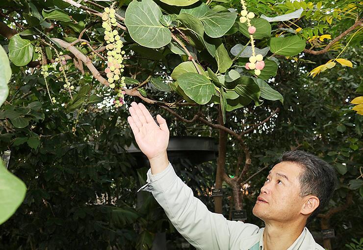 約25年越しに多くの実を付けたハマベブドウ