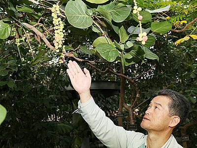 ハマベブドウ結実 県中央植物園、25年越し努力実る