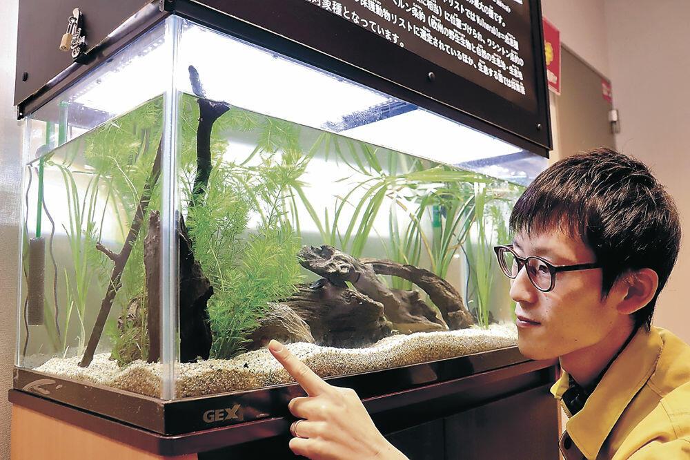 オウサマゲンゴロウモドキの繁殖に取り組む渡部学芸員=白山市の県ふれあい昆虫館