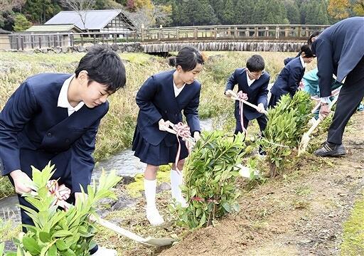 一乗谷川沿いにツツジを植える児童ら=11月19日、福井県福井市の一乗谷朝倉氏遺跡