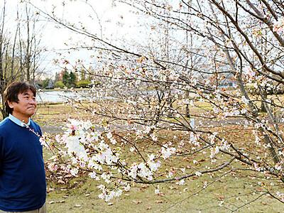 冬に花見 桜満開 中央植物園で2種