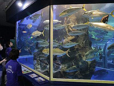 大水槽にブリ搬入 魚津水族館