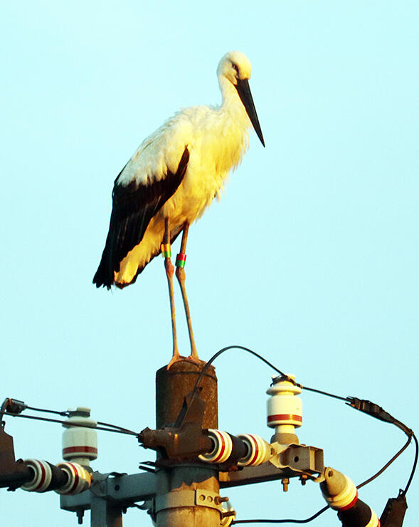 電柱の上に止まり、夕日に染まるコウノトリ